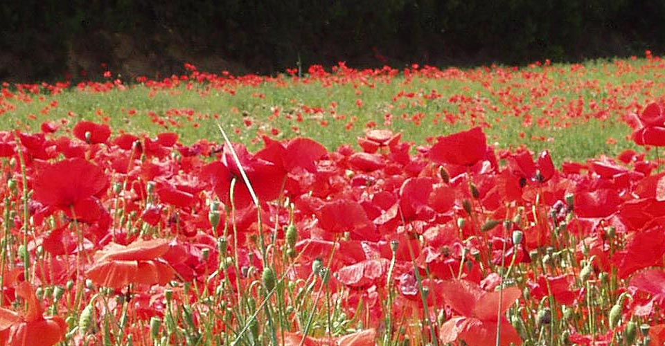 Provencal Poppy Fields
