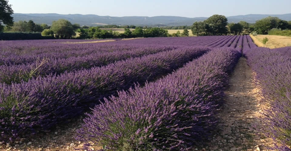 Lavender - The picture of Provence